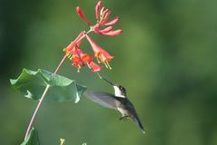 Hummingbird in Quebec. Canada, north America. royalty free stock image