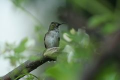 Hummingbird in Quebec. Canada, north America. Hummingbird in Quebec. Canada north America royalty free stock photography