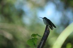 Hummingbird in Quebec. Canada, north America. Hummingbird in Quebec. Canada north America stock photography