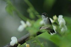 Hummingbird in Quebec. Canada, north America. Hummingbird in Quebec. Canada north America stock image