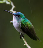 Hummingbird in the rain. Hummingbird sits on a branch in the rain, Mindo cloud forest, Equador Royalty Free Stock Image