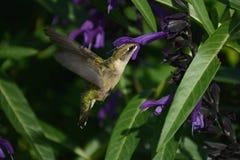 Hummingbird Rapid Wing Animation Royalty Free Stock Image