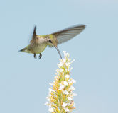 Hummingbird reaching for nectar Stock Photography