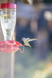 A hummingbird ready for drinking Royalty Free Stock Images