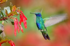 Hummingbird with red bloom forest habitat. Green Violet-ear, Colibri thalassinus, green hummingbird  flying in the nature tropic w Royalty Free Stock Image