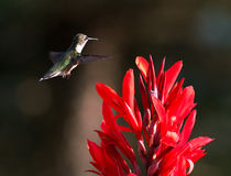 Hummingbird and Red Cana Stock Photos