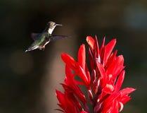 Hummingbird and Red Cana Stock Photos