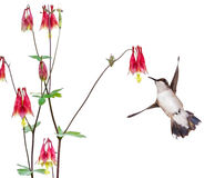 Hummingbird and Red Columbine Stock Photo