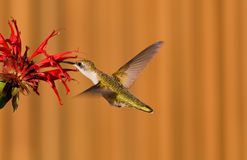 Hummingbird and a red flower Royalty Free Stock Photo
