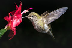 Hummingbird and red flower with dark background. This is a female hummingbird and red flower with very dark background Royalty Free Stock Photography