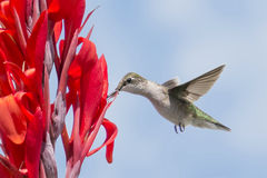Hummingbird on a red flower. Hummingbird feeding of a red flower with blue sky background Stock Image