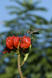 Hummingbird on Red Flower Stock Photos