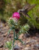 Hummingbird and red flowering thistle in Northern Arizona Stock Image