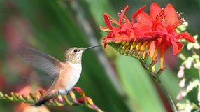 Hummingbird and red flowers. Male Rufous Hummingbird feeding on nectar from some red flowers Stock Photo