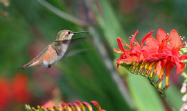 Hummingbird and red flowers. Male Rufous Hummingbird feeding on nectar from some red flowers Stock Photography