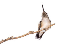 Hummingbird relieves itself from an itch. Hummingbird scratches itsself while perched on a branch, white background stock photos
