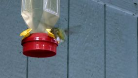 Hummingbird repeatedly eating from hanging feeder with clear nector
