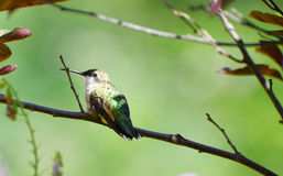Hummingbird at rest. Stock Photo