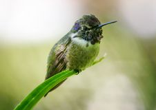 Hummingbird at rest Stock Images