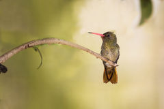 Hummingbird rest. A little hummingbird taking a rest in a branch Royalty Free Stock Photos