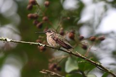 Hummingbird resting on a branch royalty free stock image