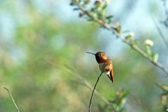 Hummingbird Resting on a Branch.  Stock Images