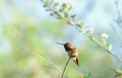 Hummingbird Resting on a Branch.  Royalty Free Stock Image