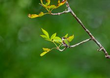 Hummingbird resting on a branch against a green backdrop royalty free stock images
