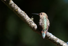 Hummingbird Resting on a Branch Royalty Free Stock Photo