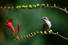 Hummingbird resting on crocosmia branch Stock Photos