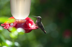 Hummingbird Resting Stock Photos