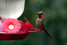 Hummingbird Resting II Royalty Free Stock Photos