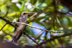 Ruby-throated Hummingbird Resting in the Oak Tree Royalty Free Stock Photo