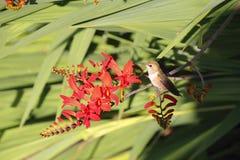 Hummingbird Resting Royalty Free Stock Image