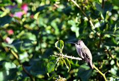 Hummingbird Resting. A tiny hummingbird has decided to take a break from it`s frantic and fast pace world that it lives in on a small twig of a bush stock photography