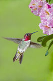 Hummingbird and Rhododendrons Royalty Free Stock Photo
