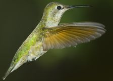 Hummingbird Rising Royalty Free Stock Photo
