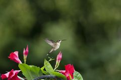 Hummingbird and Rocktrumpet with Room for Copy royalty free stock images