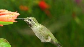 Hummingbird rozciąga jeden stopę podczas gdy unoszący się zbiory