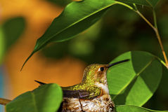 hummingbird rufous Стоковые Фотографии RF