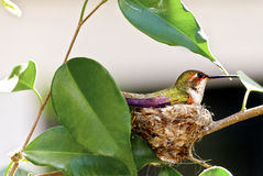 hummingbird rufous Стоковое Фото