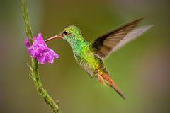 Hummingbird Rufous-tailed Hummingbird, Amazilia tzacat. Hummingbird with clear green background in Colombia. Humminbird in the nat. Ure habitat Stock Images