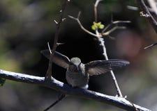 hummingbird ryży Obrazy Royalty Free