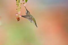 hummingbird s anna стоковая фотография