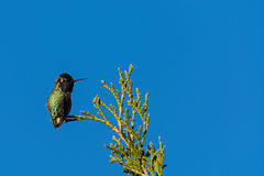 hummingbird s anna Стоковая Фотография RF