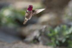 hummingbird s anna Стоковое Изображение