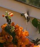 hummingbird s för 2 anna Royaltyfri Fotografi