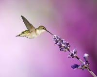Hummingbird And Salvia. A Ruby-throated hummingbird feeding on a salvia flower stock photo