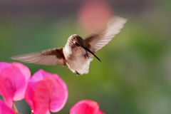 Hummingbird scratching her beak Stock Photography