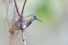 Hummingbird seated on a branch Stock Images